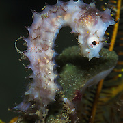 A thorny seahorse (Hippocampus hystrix) missing its snout and mouth. It was unclear how this fish lost its mouth, but it may have been attacked by another fish. The seahorse looked healthy, but it's difficult to see how it could have survived much longer without a mouth.