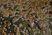 Barnacle Encrusted Rock, Lower Negro Island, Castine, Maine, US