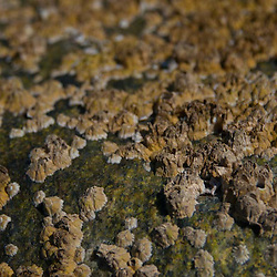 Barnacle Encrusted Rock, Lower Negro Island, Castine, Maine, US