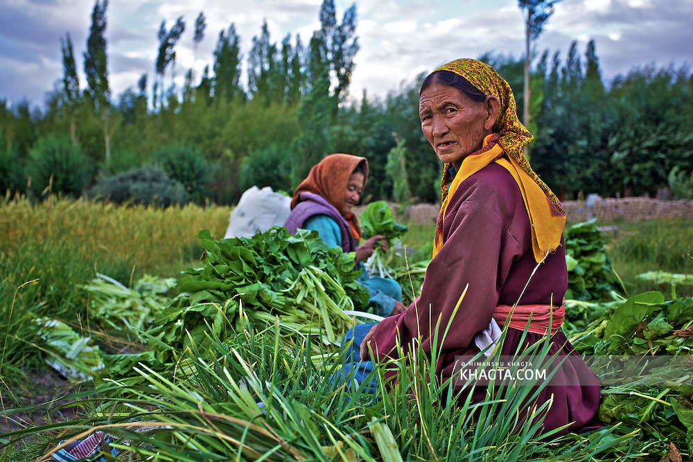 A lady packing Spinach in the fields of Thiksey Village in Ladakh.