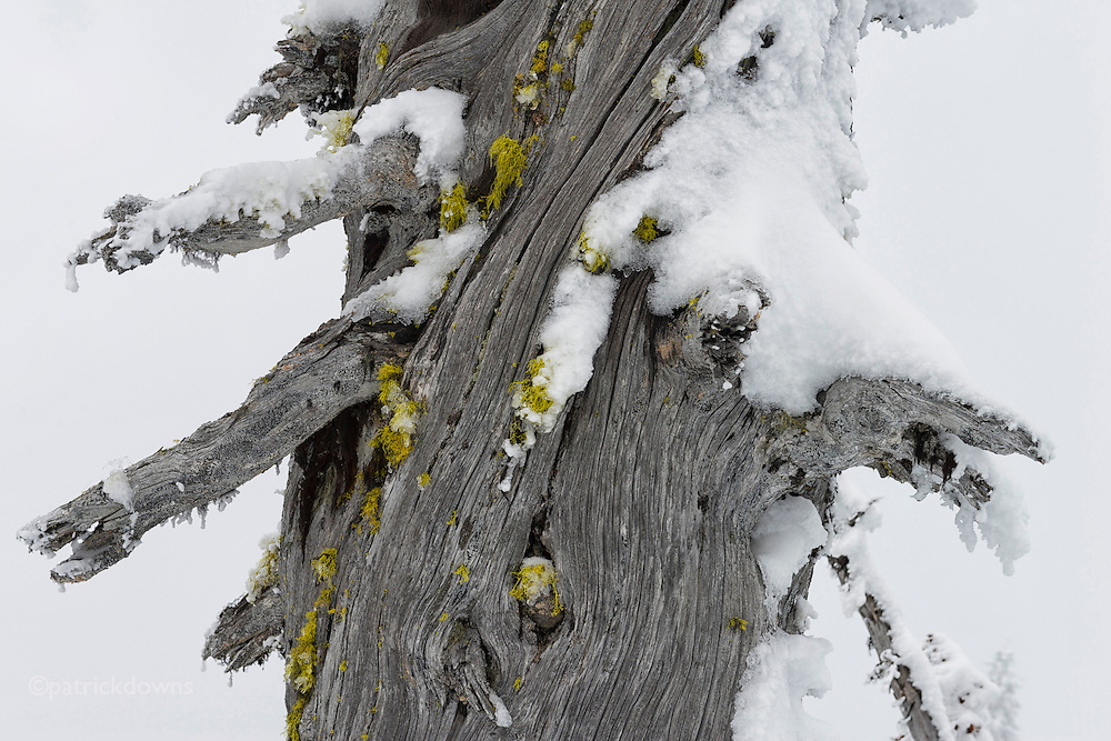 Only the moss is waiting for the end of winter, on this dead tree on Hurricane Ridge.