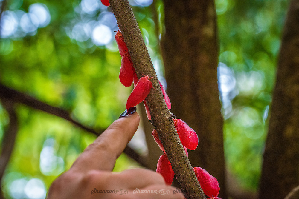 Adult Flatid Leaf Bugs (Phromnia rosea) being touched by finger photographed in Berenty Reserve, Madagascar