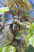 Brown-throated Three-toed Sloth <br /> Bradypus variegatus<br /> Feeding on cecropia buds<br /> Limon, Costa Rica