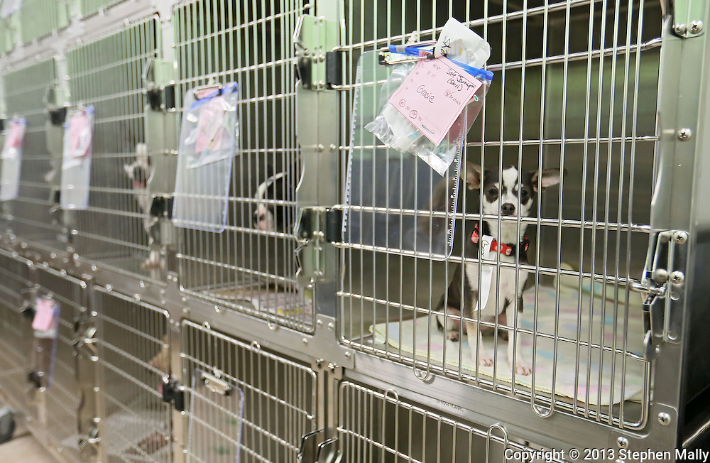 A dog sits in a kennel while waiting for surgery at Iowa Humane Alliance, 6540 6th Street SW in Cedar Rapids on Monday, January 14, 2013.