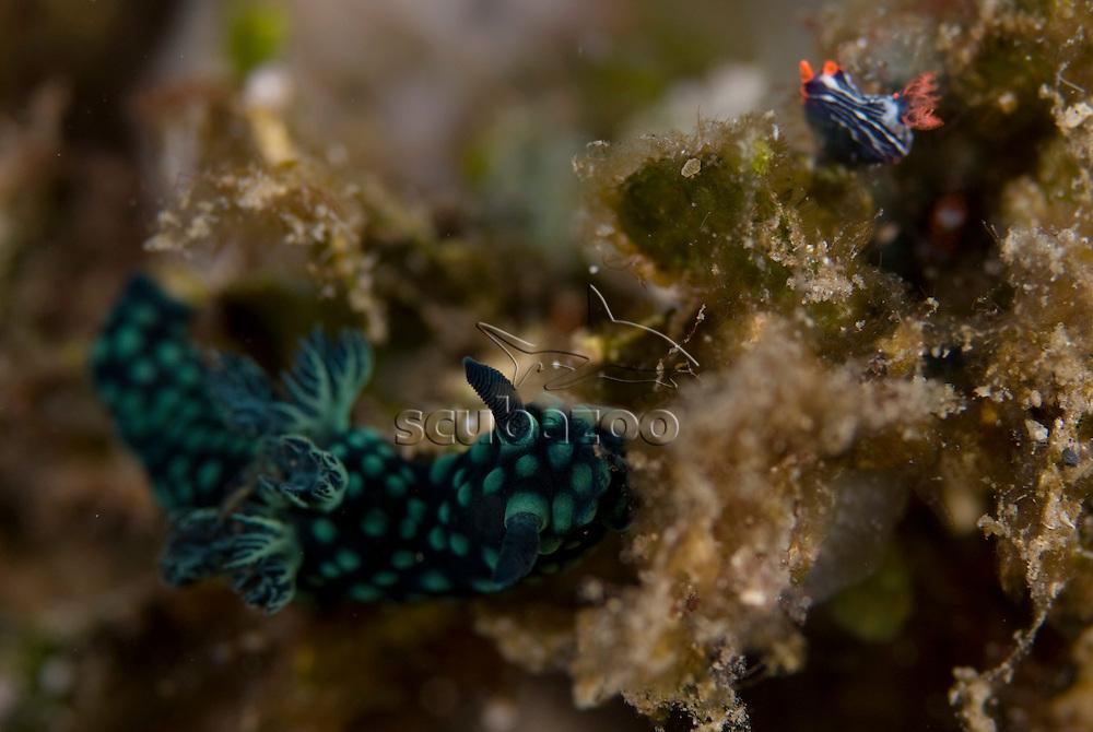 Nudibranch, Nembrotha kuraryana, KBR, Lembeh Strait, Sulawesi, Indonesia.