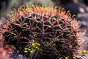 Fishhook barrel cactus (Ferocactus wislizenii), close-up, Arizona-Sonora Desert Museum, Tucson, AZ