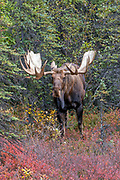 Alaskan bull moose stands in habitat.