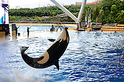 Orca Whale show, Loro Parque aquarium and Theme Park, Costa Adeje, Tenerife, Canary Islands, Spain