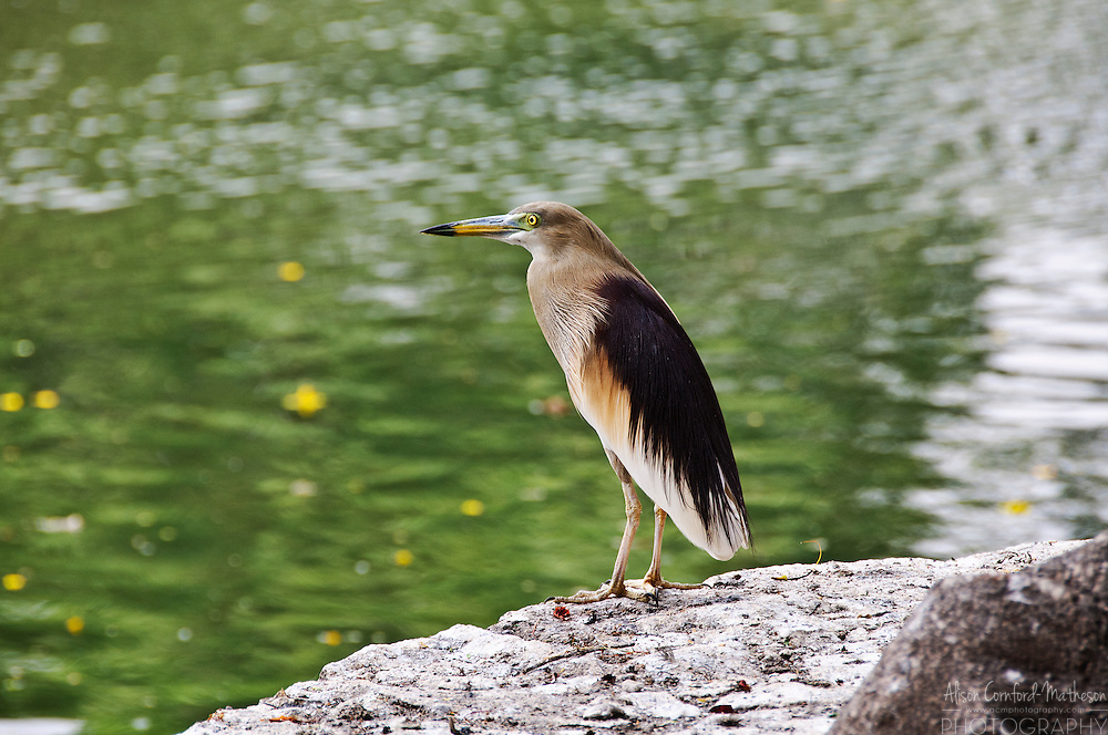 An Indian Pond Heron waterfowl in Kumarakom, Kerala, India