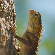 The Oriental Garden Lizard, Eastern Garden Lizard or Changeable Lizard (Calotes versicolor) is an agamid lizard found widely distributed in Asia. This specimen is in the Mae Nam Pha Chi Sanctuary in western Thailand.