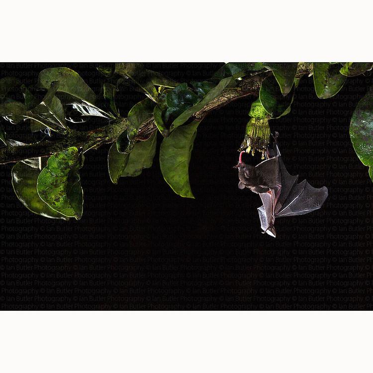 Pallas's Long-tongued Bat (Glossophaga soricina) nectaring off flower near Boca Tapada, Costa Rica, January, 2014.