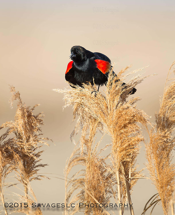 Red winged blackbird. Farmington Bay Utah 2015