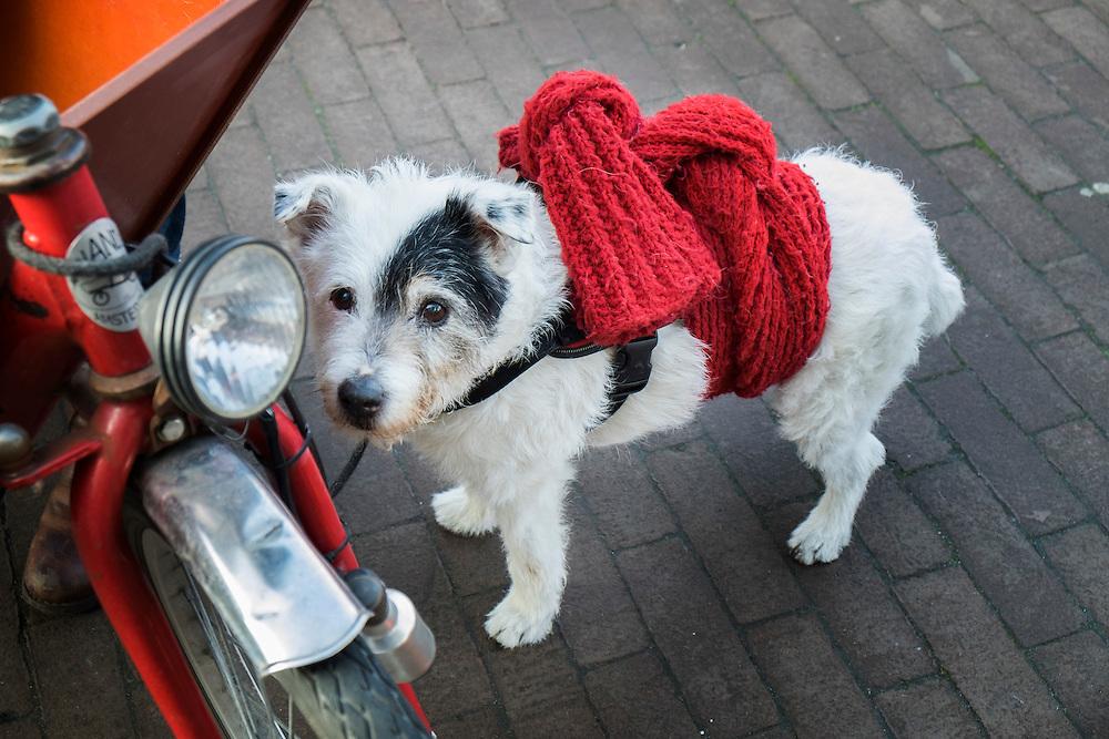 Nederland, Amsterdam, 12 maart 2016<br /> Hondje met das om zodat hij makkelijk is op te tillen<br /> <br /> Foto (c) Michiel Wijnbergh