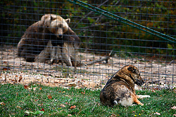 ROMANIA ZARNESTI 25OCT12 - A Eurasian brown bear and a shepherd's dog take a rest at enclosure 1 at the Zarnesti Bear Sanctuary in Romania, funded by WSPA.....With over 160 acres (70 hectares) spread over a wooded hillside, it is Romania's first bear sanctuary and today houses 67 bears rescued from ramshackle zoos and cages at roadside restaurants.....jre/Photo by Jiri Rezac / WSPA....© Jiri Rezac 2012