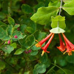 Wildflower, Yellow Island, San Juan Islands, Washington, US