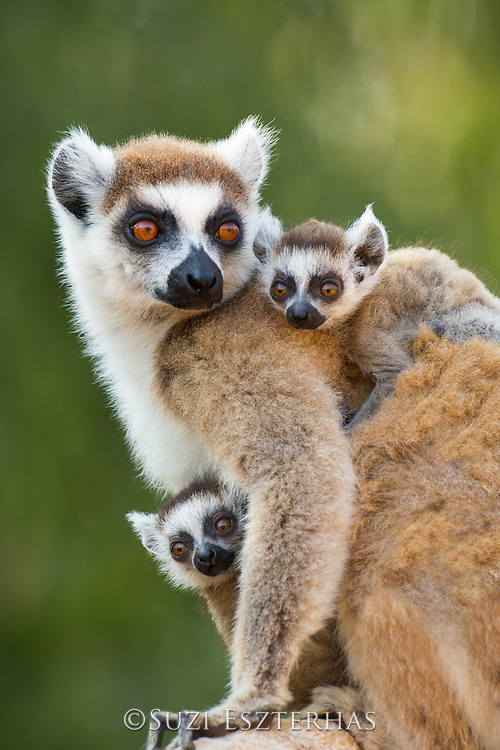 Ring-tailed Lemur<br /> Lemur catta<br /> Mother and 1-2 week old twins<br /> Berenty Private Reserve, Madagascar<br /> *Digitally retouched patch of fur on lemur's shoulder