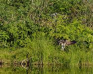 Osprey diving, bringing feet forward and closing wings to strike position, © 2015 David A. Ponton