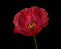 Red Poppy Flower. Backyard spring nature in New Jersey. Focus stacked composite of 25 mages taken with a Nikon Df camera and 105 mm f/2.8 VR macro lens and SB-910 flash (ISO, 105 mm, f/4, 1/60 sec). Images processed with Capture One and Helicon Focus (depth map, radius 8, smoothing 4)