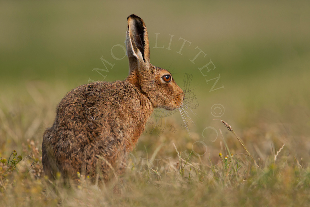 European Hare (Lepus europaeus) adult at rest on grass track, farmland, Norfolk, UK.