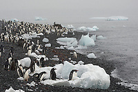 Gentoo Penguin (Pygoscelis papua) and Adelie Penguin (Pygoscelis adeliae) on beach at Brown Bluff, Antarctica.