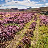 Track over Heather Moorland with The Cheviot in the Distance near Wooler Northumberland National Park England