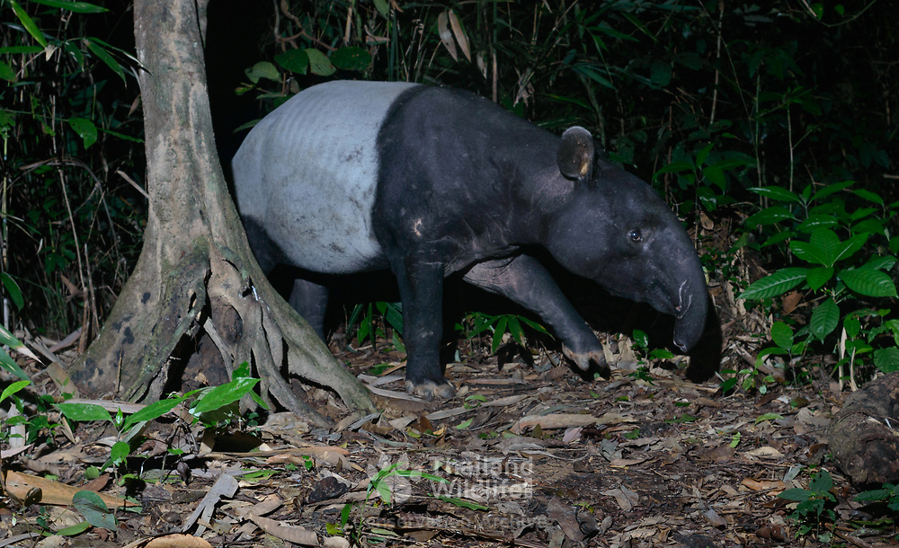 The Malayan tapir (Tapirus indicus), also called the Asian tapir, is the largest of the world's five species of tapir and the only one native to Asia.