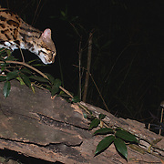 Leopard Cat (Prionailurus bengalensis) caught on a camera trap hunting a Pencil-tailed Tree Mouse<br /> (Chiropodomys gliroides) in Kaeng Krachan National Park, Thailand.