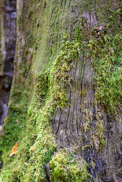 Moss covered tree in Mt Field National Park, Tasmania, Australia