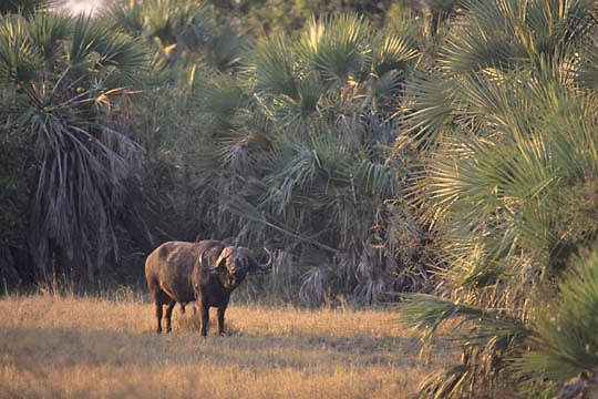 African Cape Buffalo, (Syncerus caffer) Lone bull standing in clearing surrounded by Lala Palm trees. Kruger National Park. South Africa. Evening.
