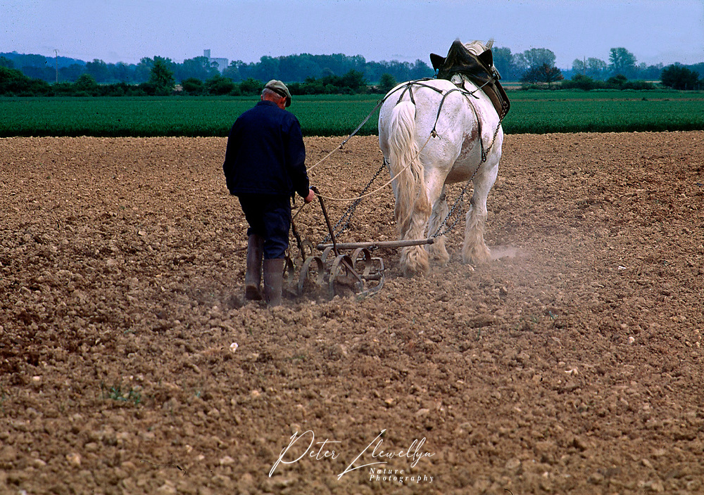 Farmer plowing with a grey horse, Central France