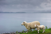 Ewe sheep with lamb, Ovis aries,  roaming freely by side of road and loch on Isle of Mull in the Highlands and Islands of Scotland