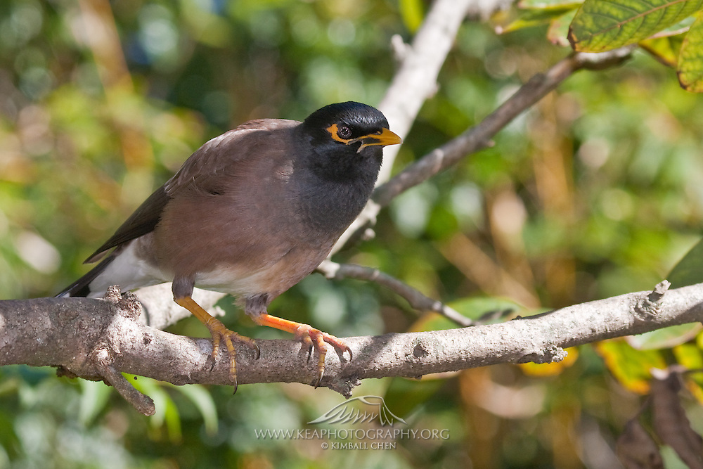 The Indian Myna is an exotic species introduced by humans to New Zealand.