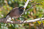 Indian Mynah Pictures - Photos