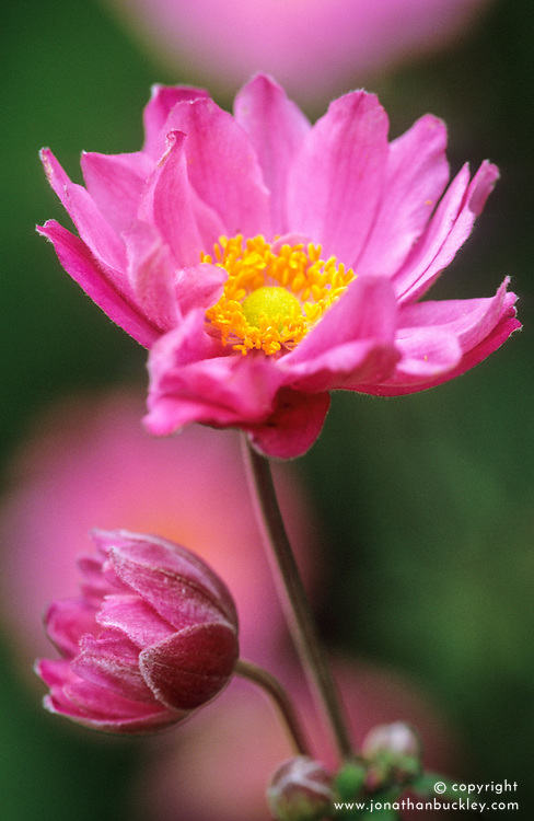 Anemone x hybrida 'Pamina' - Japanese anemone