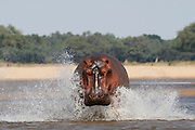 A hippo runs through in to the Zambezi river...Lower Zambezi National Park, Zambia, Southern Africa..© Zute & Demelza Lightfoot.www.lightfootphoto.com..