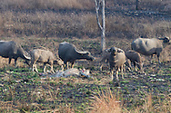 "Water Buffalo inspect a dead cow at a ""vulture restaurant,"" while the vultures keep their distance. (Cambodia)"