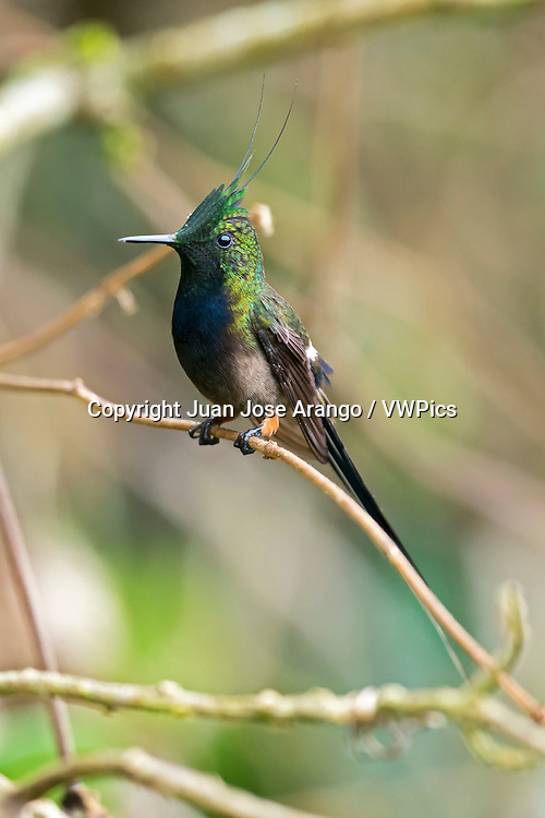 Wire-crested Thorntail (Discosura popelairii), Wildsumaco, Ecuador