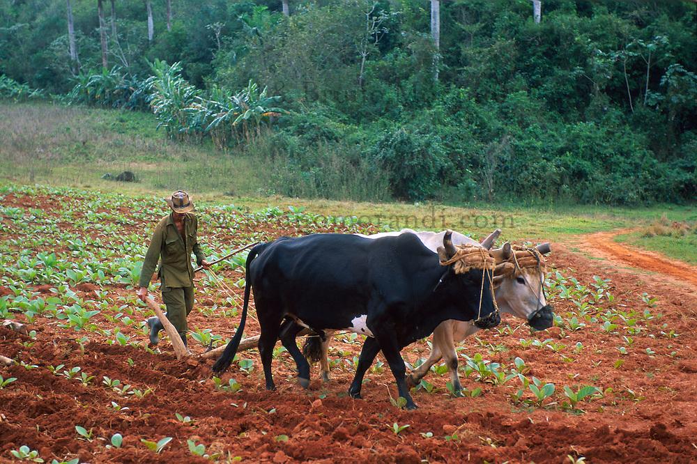 Cuba, Province de Pinar del Rio, Vallée de Viñales, Labourage des champs // Cuba, Region of Pinar del Rio, Valley of Viñales, Field digging