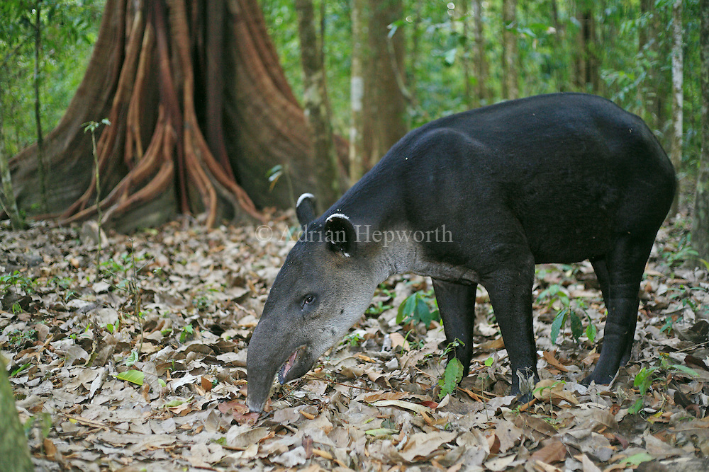 Baird&rsquo;s Tapir (Tapirus bairdii) feeding on fallen fruit at base of fig tree. Corcovado National Park, Osa Peninsula, Costa Rica. <br />