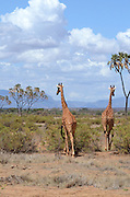 Kenya, Samburu National Reserve, Kenya, Reticulated Giraffe, Giraffa camelopardalis reticulata, near an Acacia tree