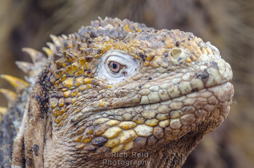Endemic Galapagos land iguana, Conolophus subsristatus introduced on North Seymour Island in the Galapagos Islands National Park and Marine Reserve, Ecuador. Reintroduced back to an extinct population on neighboring Baltra Island.