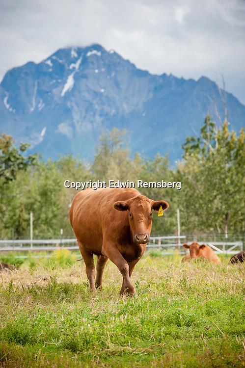 Beef cattle on a farm in Alaska (Bos primigenius)
