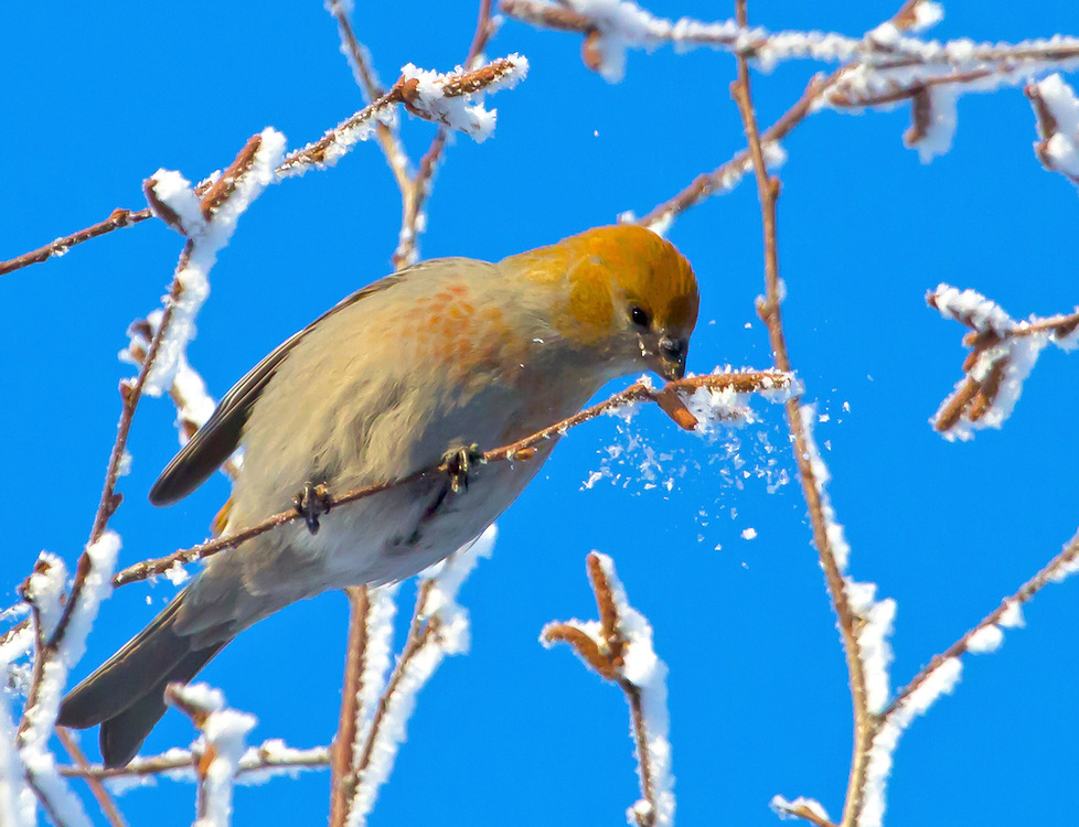 Alaska. Pine Grosbeak (Pinicola enulcleator) knocking the frost off birch buds for a winter snack, Anchorage.