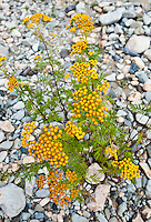 Common Tansy flowers in a stream bed, Methow Valley, Washington, USA.