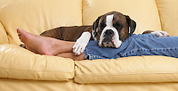 Boxer sleeping on woman legs.