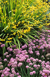 Allium senescens subsp. montanum var. glaucum with Crocosmia 'Citronella' syn Crocosmia 'Golden Fleece'