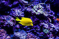 Yellow fish (checking on the specific name)