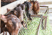 Goats eat hay in a dairy farm pen