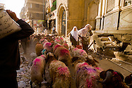 Egypt . Cairo : a stockbreeder is coming in the old city with his herd, -sharia   al Mu'izz Li Din Allah north part, street life   le Cairo