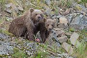 Two bear cubs (Ursus arctos) pause from snacking on a salmon head - Katmai, Alaska